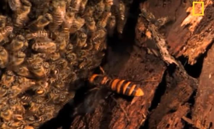 Слика од Пчели намамуваат и убиваат стршлен неколкупати помоќен од нив (Видео)