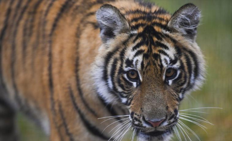 Слика од Тигар, кој усмрти тројца, оди во Зоолошка градина