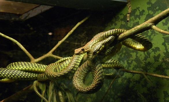 Слика од Науката го објасни начинот на движење на летечката змија