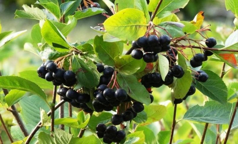 Слика од Аронија - овошје со најголема антиоксидантна активност