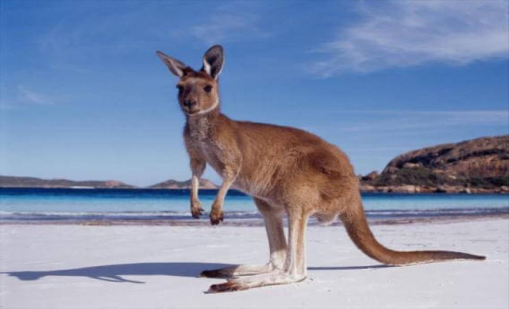 Слика од Откриена слика од кенгур стара 17.300 години во Австралија