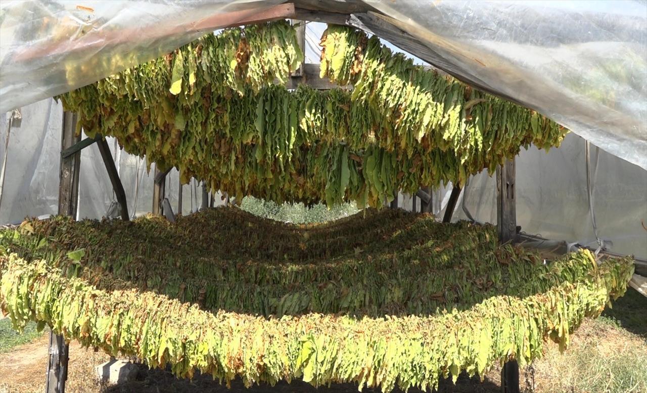 Слика од Тутунарите веруваат дека реколтата ќе биде откупена, министерот Хоџа очекува законските измени да се донесат оваа или идната недела
