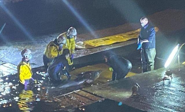 Слика од Спасен кит-младенче кој заталкал во Темза во Лондон