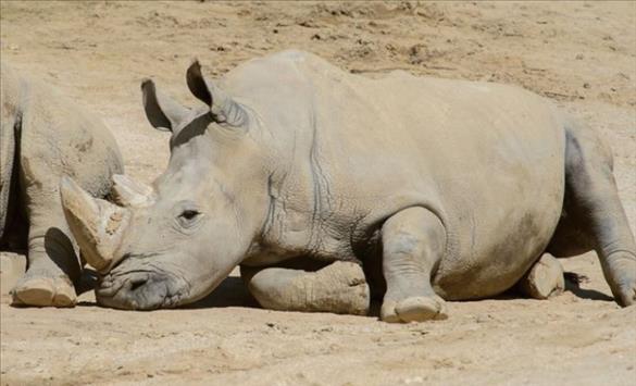 Слика од Угина најстариот бел носорог во светот