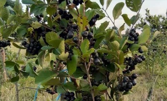 Слика од Аронија - моќно овошје со витамини кое после Чернобил го користеле за ублажување на последиците