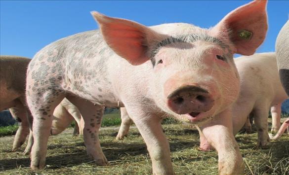 Слика од Американски хирурзи успешно трансплантираа бубрег од свињa на човек