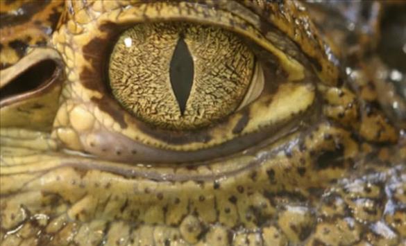 Слика од Крокодил станал вегетариjанец