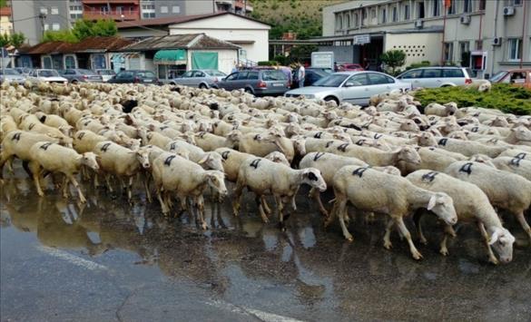 Слика од Стадата овци од бачилата го почнаа своето патешествие до Повардарието